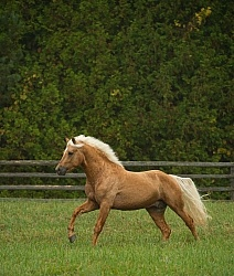Connemara Stallion Free Running, Century Hill's Gold Not Silver