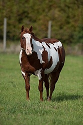 Paints Overweight Horse