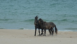Sable Island Sable Island Horses on the beach