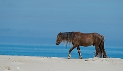 Sable Island Horses on the Beach