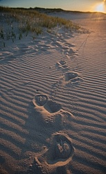 Hoof Prints in the Sand at Sable Island