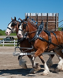 Clydesdale Driving