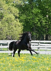 Rocky Mountain Stallion Free Running, Bonnie View Farms Jedi Kni
