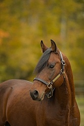 Morgan Portrait, Stallion, Country Rose Time Bandit,Kavanaugh Tr