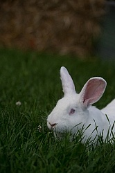 Rabbits, New Zealand White crossed with Californian