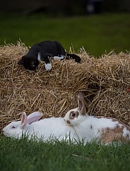 New Zealand White crossed with Californian Rabbits with kittens
