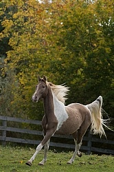 Spotted Saddle Horse Free Running Vertical Bonnie View Farms