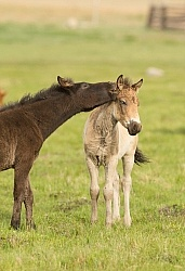 Mongolian Foals Playing