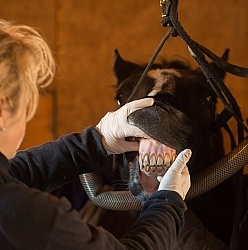 Vet Checking Teeth