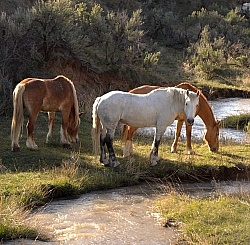 Grazing Horses by River Herd Grazing