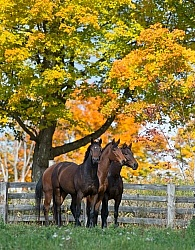 Appendix Quarter Horses in Fall Foliage Domestic Herd