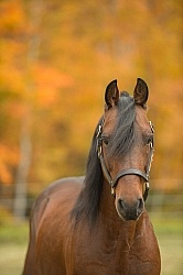 Morgan Portrait, Stallion, Country Rose Time Bandit,Kavanaugh Tr Morgan in the Fall