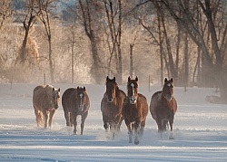 Winter Herd