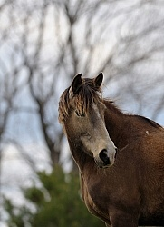 Tennessee Walker Portrait