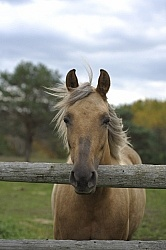 Palomino Morgan Portrait