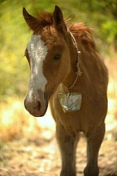 Criollo Foal follows the Andes Ride