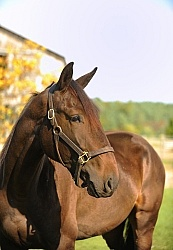 Standardbred Portrait