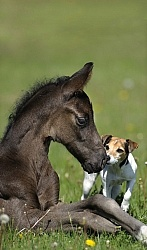 Hanoverian Foal with Jack Russel
