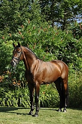 Oldenburg Stallion Sandros Heir owned by Pangaea Farms