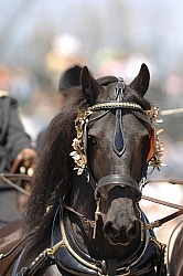 Friesian Driving