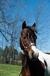 Miniature Horse Stallion Portrait