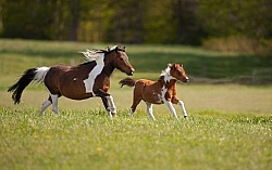 Miniature Horse Mare and Foal Free Running