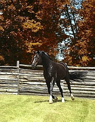 Harvard - Oldenburg Stallion Pangea farms