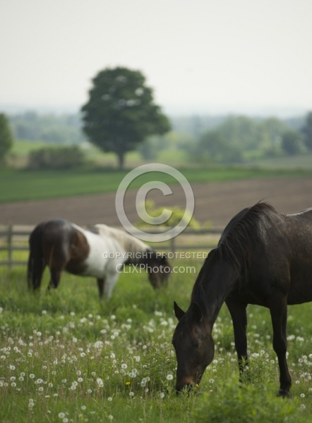 Horses Out on Pasture