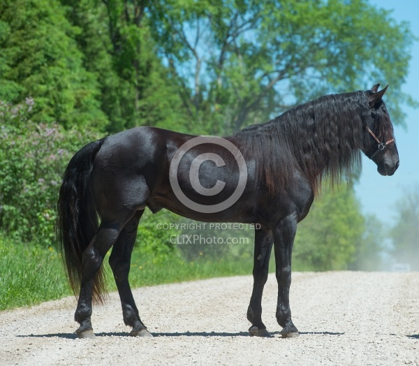 Rocky Mountain Horse Stallion Conformation, Bonnie View farms Jedi Knight