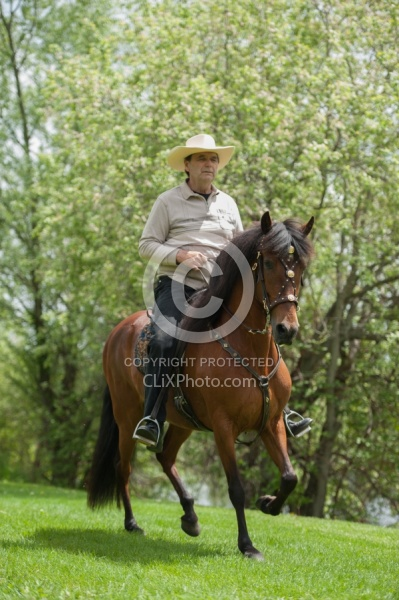 Peruvian Horse Under Saddle Beaconhurst Stables